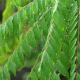 7 Incredible Facts About Curry Leaf Essential Oil