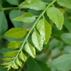7 Important Health Benefits Of Curry Leaf Essential Oil